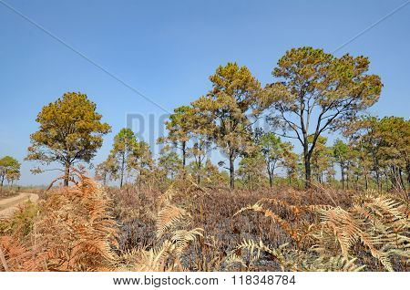 Savanna And Pine Forest After Forest Fire.