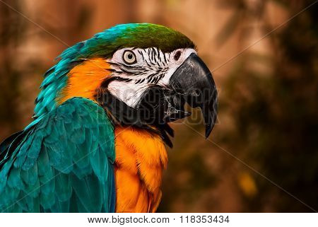 Blue green orange macaw talking parrot portrait closeup