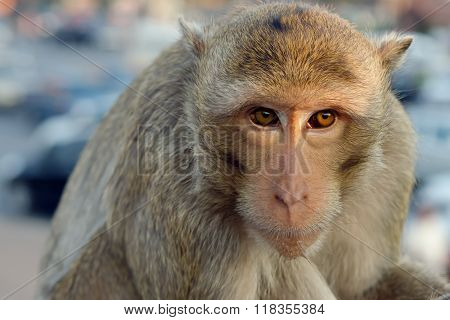 Long-tailed Macaque Monkey (crab-eating Macaque) In Lopburi Province Thailand