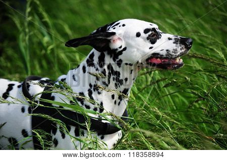 Dalmatian Dog In High Green Grass