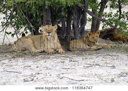 Lion's Pride, Namibia