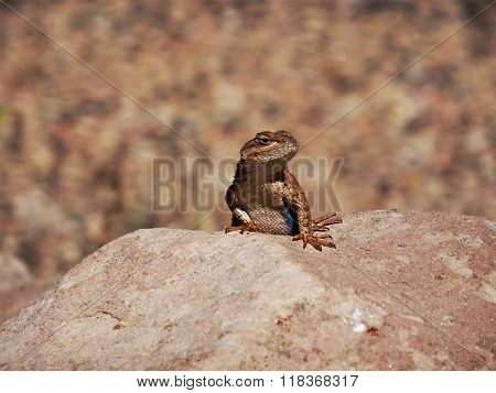 Eastern fence lizard keeps fiere watch over the rim of a stone