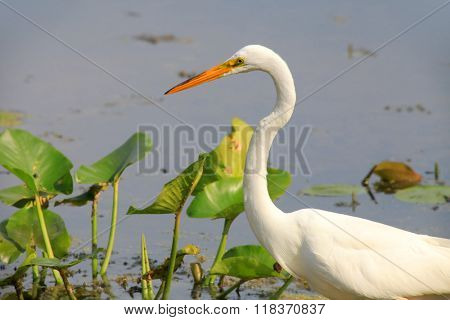 Snow white egret in the lake hunting for fish