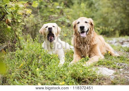 Golden retriever dog and best friend who is yawing