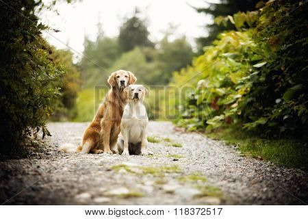 Golden retriever dog and best friend pose with attitude