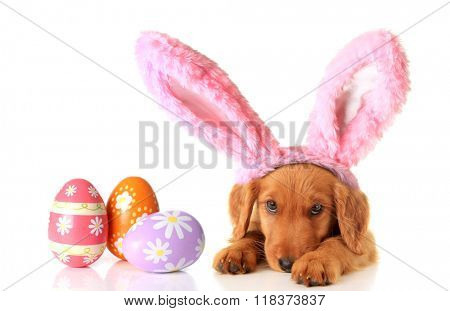 An Irish Setter puppy wearing Easter bunny ears, surrounded by Easter eggs.