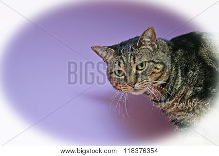 Brown Tabby Cat On A Violet Background With Vignette