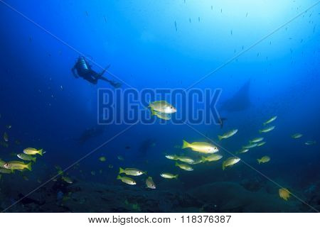 Coral reef scene with scuba diver and manta ray