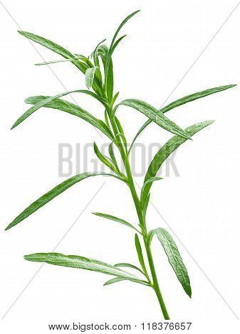 Fresh Tarragon (artemisia Dracunculus)