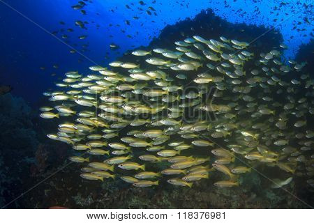 Bigeye Snapper fish on a coral reef in Similan Islands, Thailand