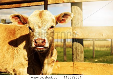 Sunny Day Calf