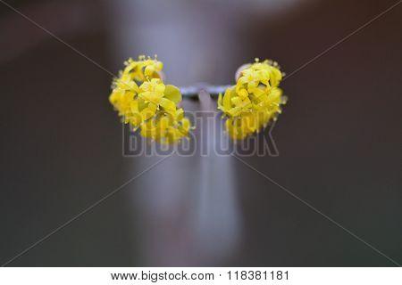 Cornelian cherry (Cornus mas) in flower