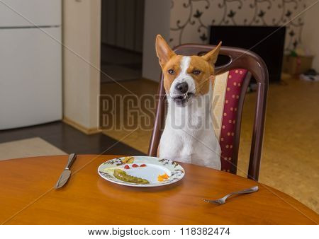 Basenji shows grimace of dissatisfaction