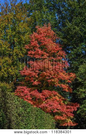 Acer Rubrum In Autumn