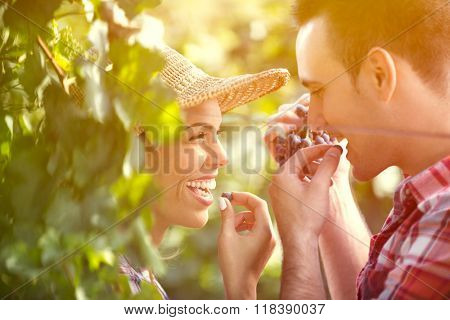 Close-up of bunch of green grapes hanging from vine in vineyard with male and female winemaker tasting grapes