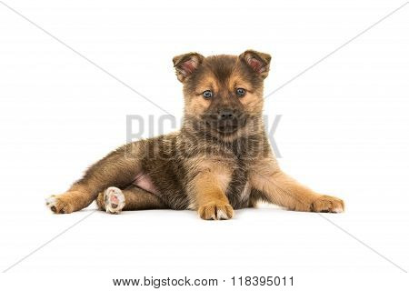 Cute pomsky puppy lying down