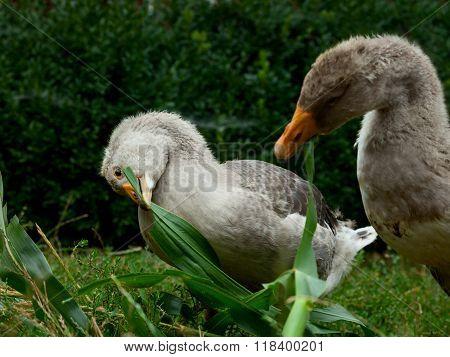 Eating Grey Geese