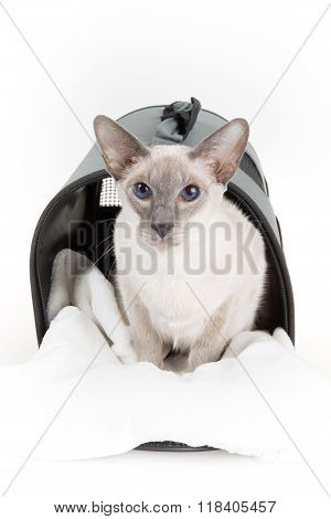 Close-up Of An Oriental Shorthair Cat, Against White