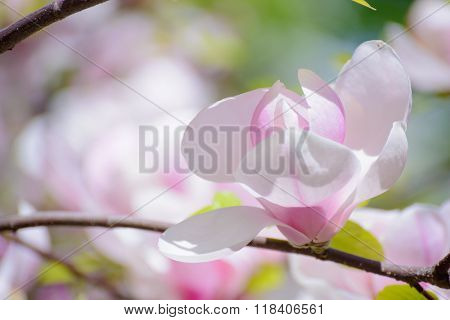 Beautiful Pink Magnolia Flowers. Spring Floral Background