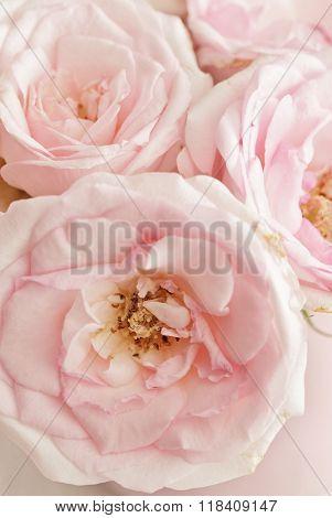 closeup of pink rose flowers