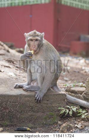 Monkey eating a banana. Rhesus macaque