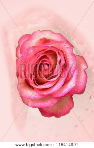 Beautiful Pink Rose With Water Drops