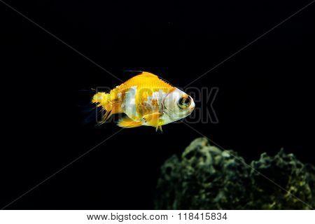 Closeup beautiful goldfish swimming underwater in aquarium