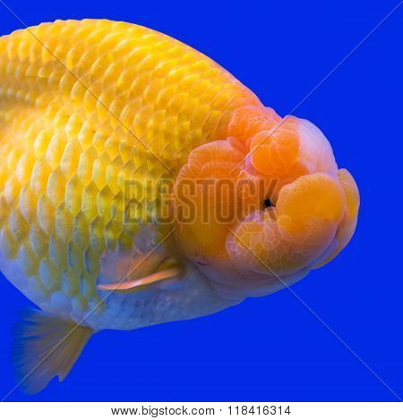 Goldfish in aquarium with green plants for background.