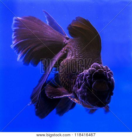 Goldfish aquarium in water on blue background