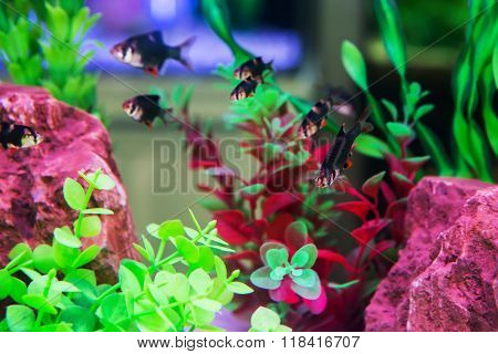 fish in aquarium swimming with water plants