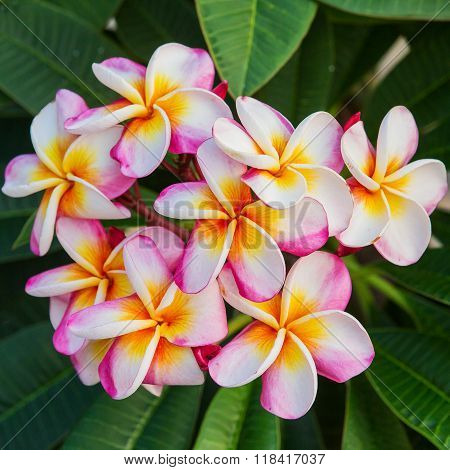 Plumeria spp. (frangipani flowers Frangipani Pagoda tree or Temple tree)