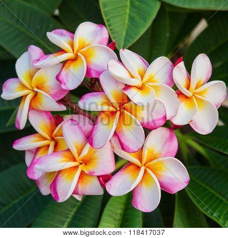 Plumeria spp. (frangipani flowers Frangipani Pagoda tree or Temple tree)