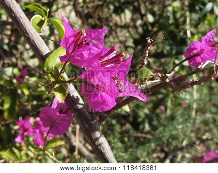 Bougainvillea Flowers, Portovenere , Province Of La Spezia, Italy