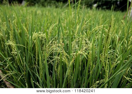 Paddy Plantation in Kochi