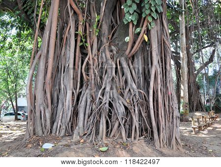 Aerial Roots Of Ficus Benghalensis