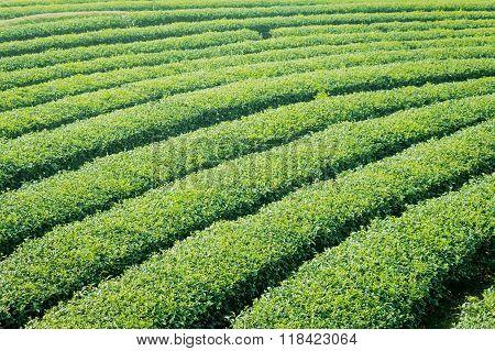 Tea Plantation In Northen Thailand