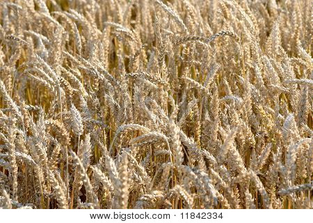 Yellow grain in a farm field