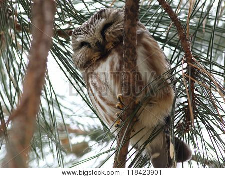 Northern Saw-whet Owl in Pine Tree