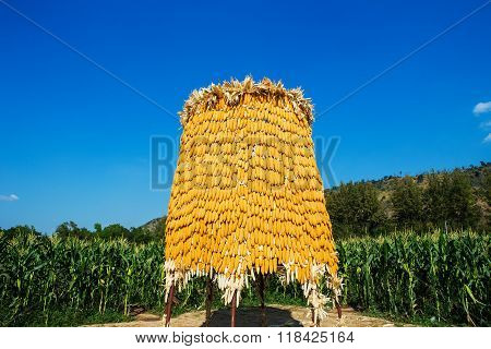 Corncobs on wooden facade in farm Thailand