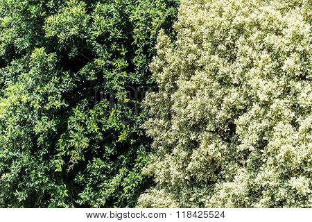 Big ficus shrubs. Nature background.