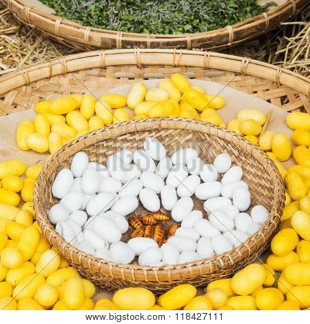 Yellow silkworm cocoon shell through the Silk Route the brewing process bringing silks to silk.