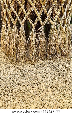 paddy or rice grain , Rice is the seed of the grass species Oryza sativa (Asian rice) or Oryza glaberrima