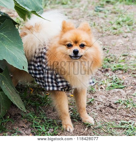 The Pomeranian (often known as a Pom or Pom Pom) is a breed of dog of the Spitz type, named for the Pomerania region in Central Europe