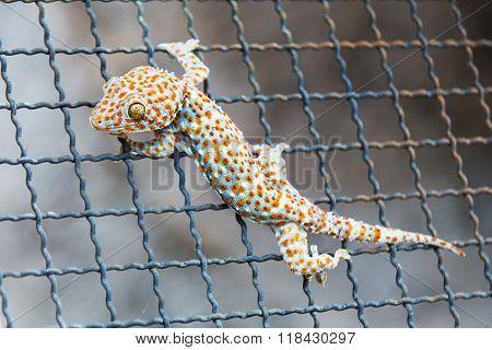 Closeup of a Gecko on steel mesh