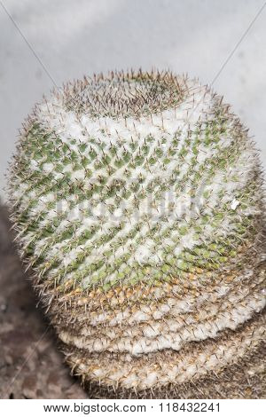 Mammillaria Formosa Succulent Plant