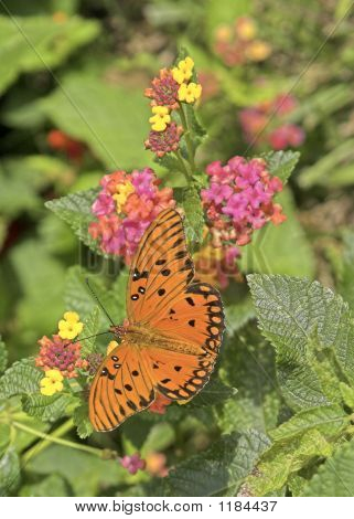Monarch Butterfly On Lantana Bush 3