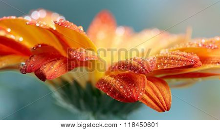 Orange daisy gerbera flower with waterdrops over green background