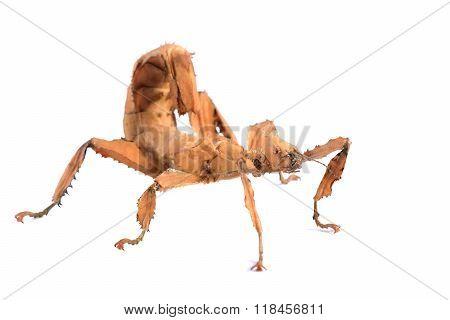 stick insect Extatosoma tiaratum isolated over white