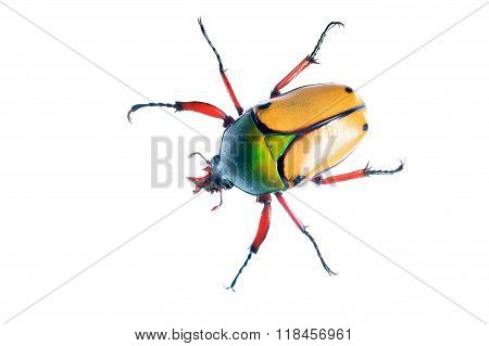 large scarab beetle Eudicella smith isolated over white