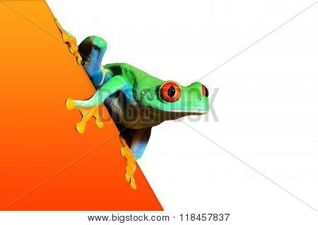 red-eye tree frog Agalychnis callidryas on an orange surface